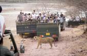 Ranthambore Nationalpark Tiger