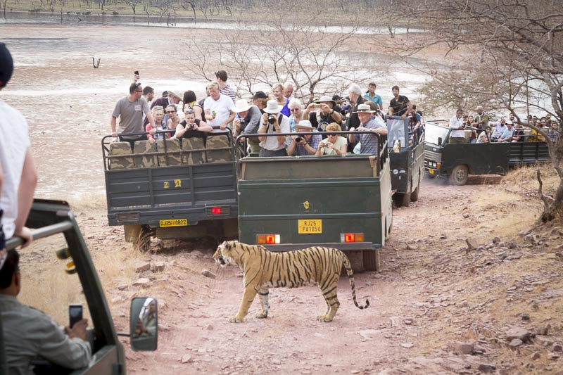 Ranthambore Nationalpark Tiger